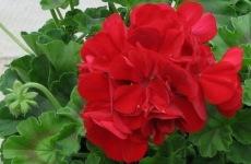 Calliope-Dark-Red