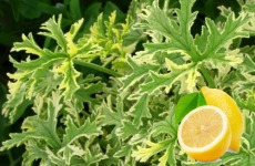 Pelargonium-graveolens-limon